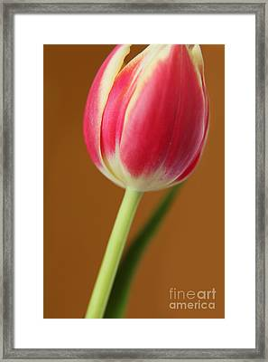 Fresh Tulip Framed Print by Eden Baed