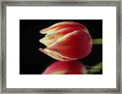 Fresh Tulip Flower Framed Print by Eden Baed