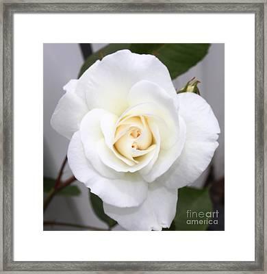 Fresh White Rosebud Framed Print by French Toast