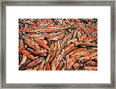 Freshly Catched Salmons At The Nenana River - Ak Framed Print by Juergen Weiss