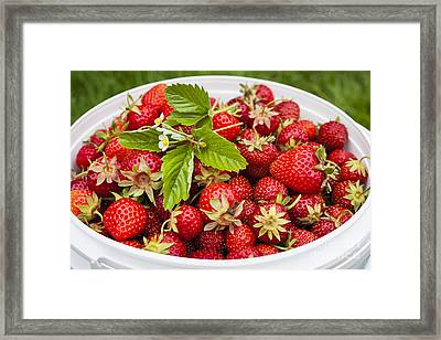 Freshly Picked Strawberries Framed Print by Elena Elisseeva