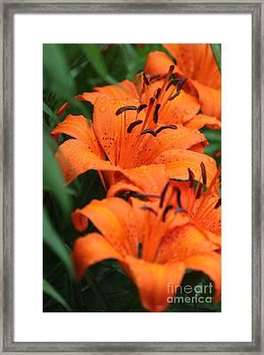 Freshly Showered Tiger Lilys Framed Print
