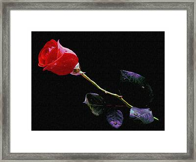 Freshly Watered Red Rose Framed Print