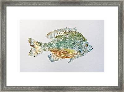 Freshwater Bluegill Framed Print by Nancy Gorr