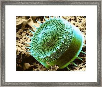 Freshwater Diatom, Sem Framed Print by Asa Thoresen