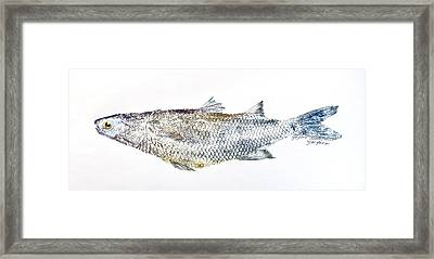 Freshwater Jumping Mullet Framed Print