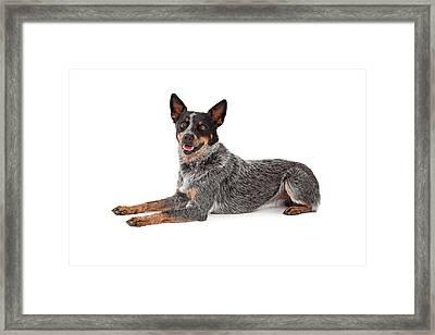Friendly Australian Cattle Dog Laying Framed Print by Susan Schmitz