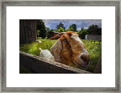 Friendly Goat Framed Print by Debra and Dave Vanderlaan