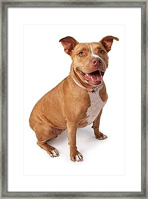 Friendly Pit Bull Framed Print by Susan Schmitz