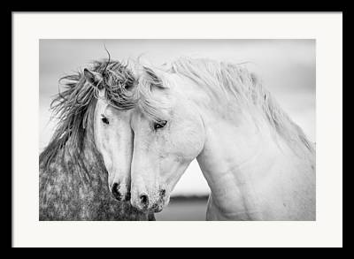 White Stallion Framed Prints