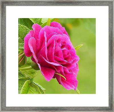 Friendship Rose Framed Print