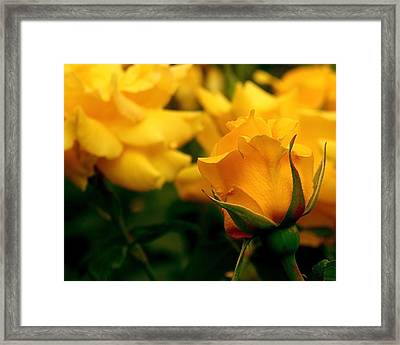 Friendship Roses Framed Print by Rona Black