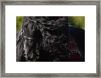 Friesian Beauty Framed Print by Wes and Dotty Weber