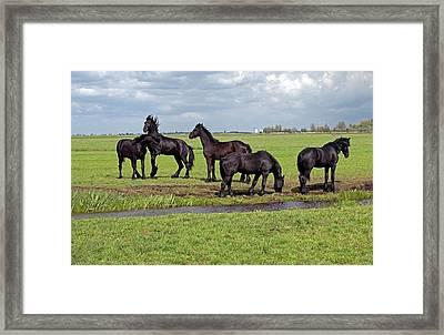 Friesian Horses Framed Print by Dirk Wiersma