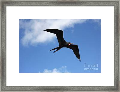 Frigate Bird In Flight Framed Print by Sophie Vigneault