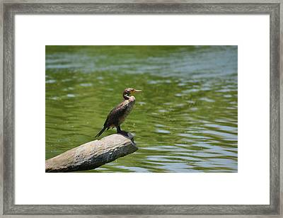 Frigate Bird Watching Estuary Framed Print by Christine Till