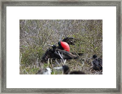 Frigate Mating Dance Framed Print