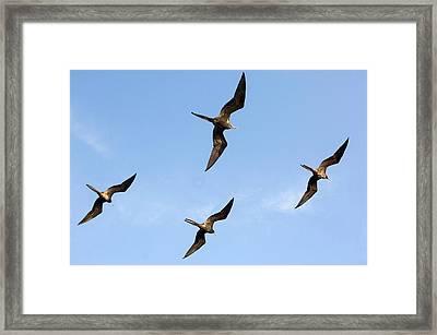 Frigatebirds In Flight Framed Print by Daniel Sambraus