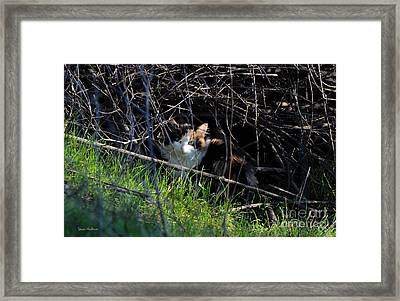 Frightened Feral Calico  Framed Print