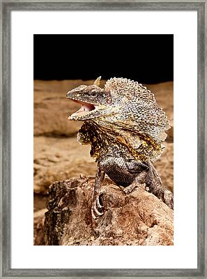 Frilled Lizard, Chalamydosaurus Kingii Framed Print by David Northcott