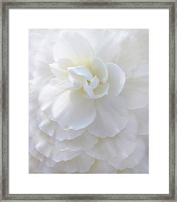 Frilly Ivory Begonia Flower Framed Print by Jennie Marie Schell