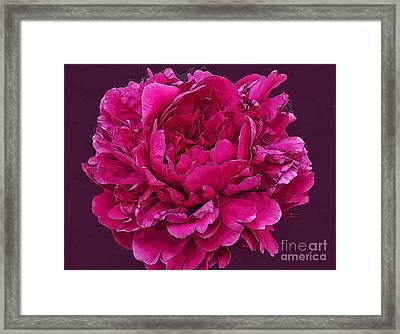 Frilly Lush Bright Pink Peony Framed Print by Maureen Tillman