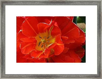 Frilly Tulip Framed Print by Bruce Bley