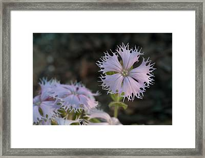 Framed Print featuring the photograph Fringed Catchfly by Paul Rebmann