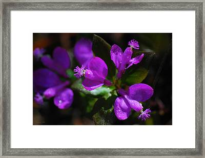 Fringed Polygala Framed Print by Christina Rollo