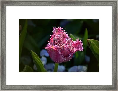 Fringed Tulip Framed Print