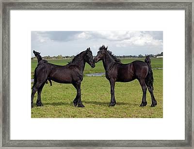 Frisian Horses Framed Print by Dirk Wiersma