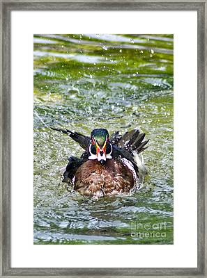 Frisky - Wood Duck Framed Print