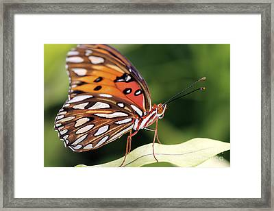 Fritillary Butterfly Framed Print by Pamela Gail Torres