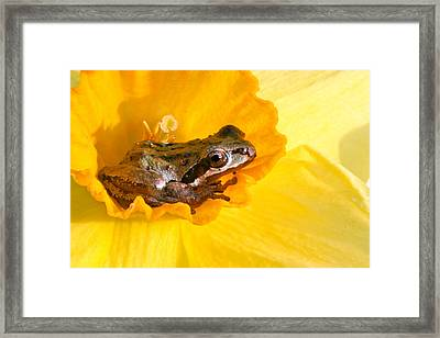 Frog And Daffodil Framed Print by Jean Noren