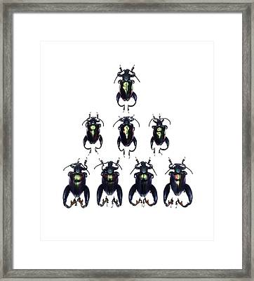 Frog-legged Leaf Beetles Framed Print by Science Photo Library
