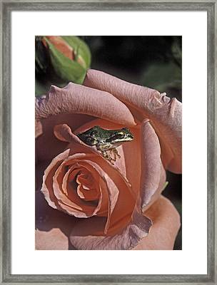 Frog On Rose Framed Print