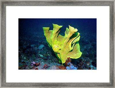 Frogfish Camouflaged On Sponge Framed Print by Georgette Douwma