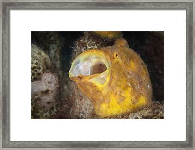 Frogfish Framed Print