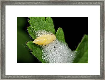 Froghopper Nymph And Cuckoo-spit Framed Print by Nigel Downer