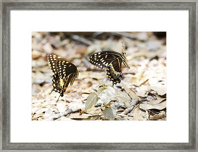 Frolicking Butterflies Framed Print