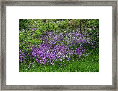 Frolicking Phlox - Oil Framed Print