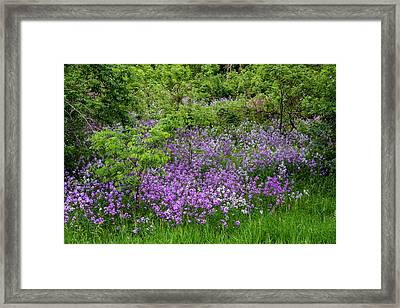 Frolicking Phlox Framed Print