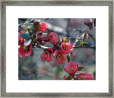 From Quince I Came Framed Print by Brenda Dorman