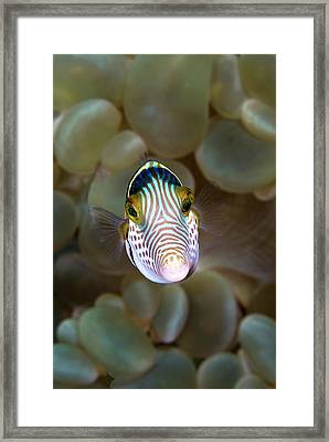 Front Close-up Of Pufferfish Framed Print by Jaynes Gallery