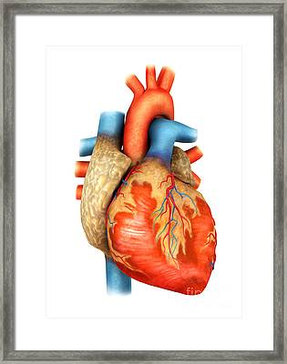 Front View Of Human Heart Framed Print by Stocktrek Images