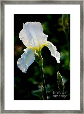 Front Yard Iris Framed Print by Vinnie Oakes