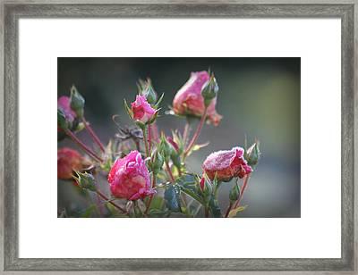 Frost Kissed Roses Framed Print