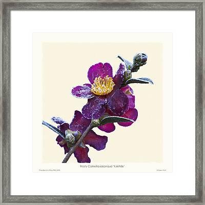 Frost On Camellia Sasanqua 'yuletide' Framed Print by Saxon Holt