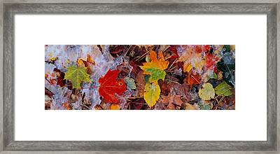 Frost On Leaves, Vermont, Usa Framed Print