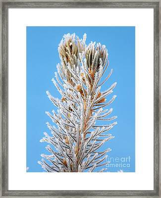 Frosted Blue Spruce Tips Framed Print